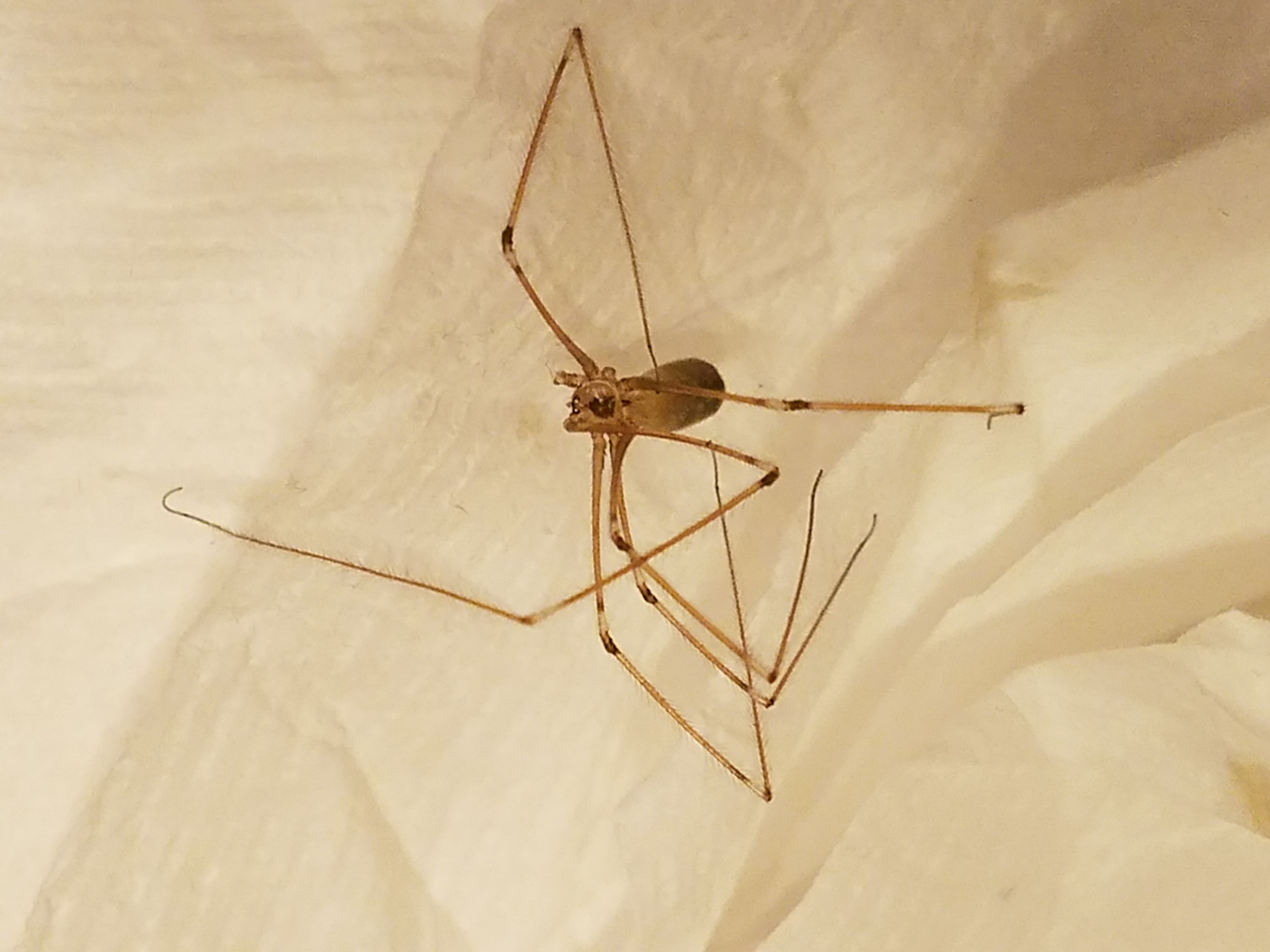 Picture of Pholcus phalangioides (Long-bodied Cellar Spider) - Dorsal