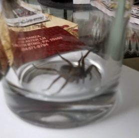 Picture of Lycosidae (Wolf Spiders) - Lateral