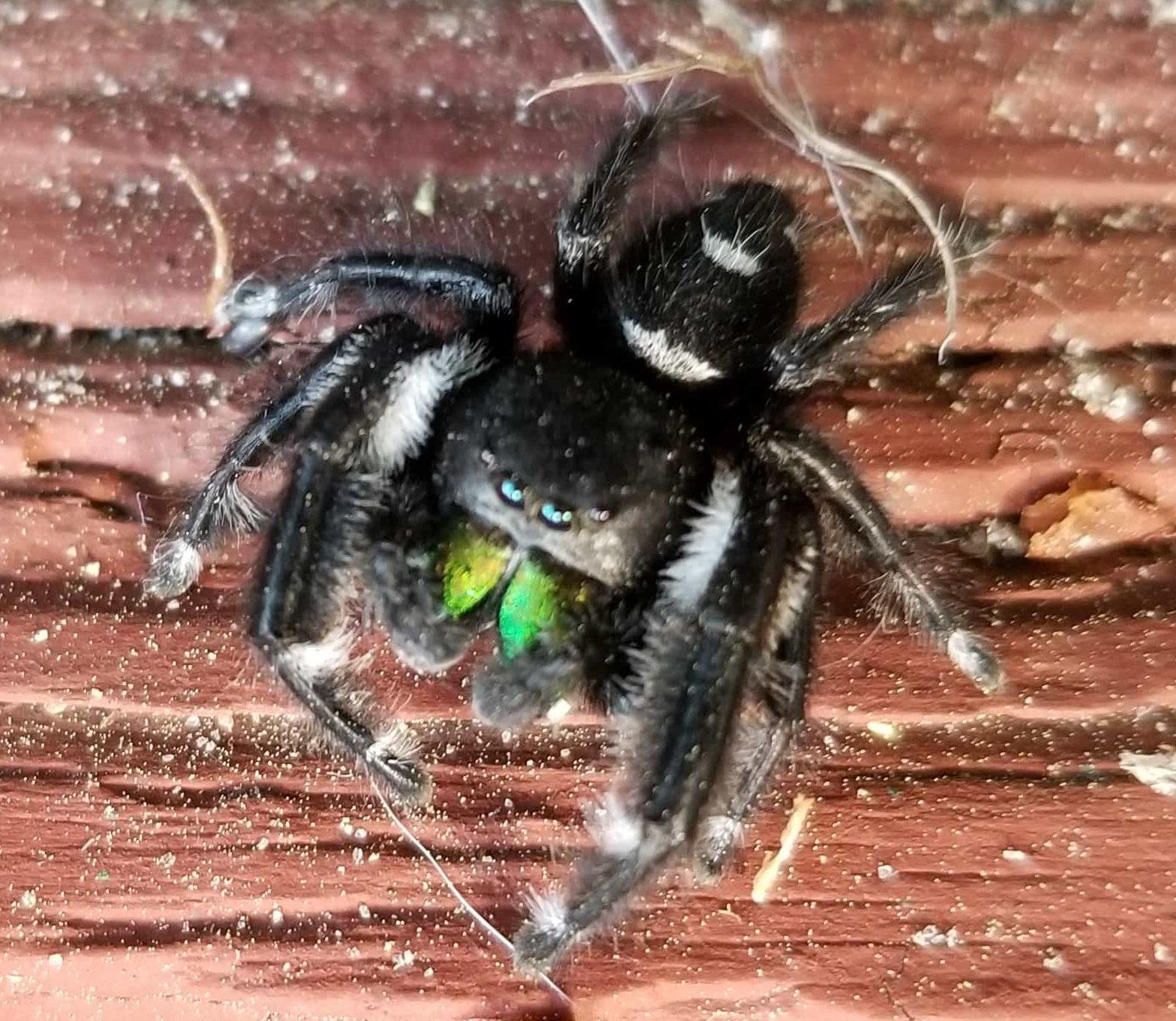Picture of Phidippus regius (Regal Jumping Spider) - Male - Eyes,Ventral