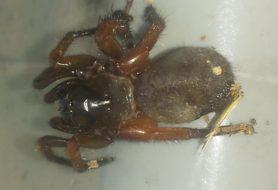 Picture of Myrmekiaphila comstocki - Dorsal