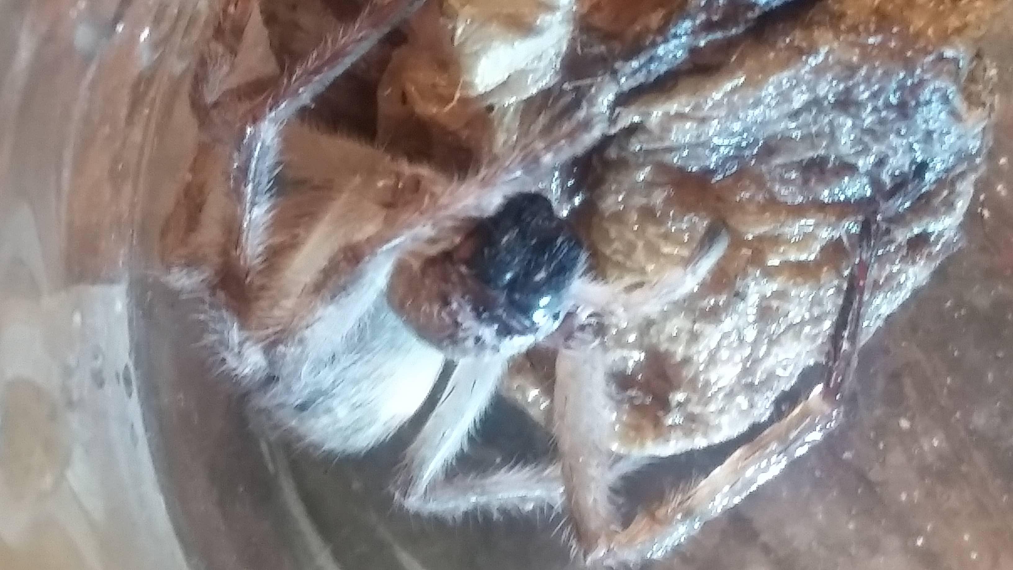 Picture of Olios giganteus (Giant Crab Spider) - Eyes,In Retreat