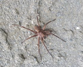 Picture of Uliodon spp. (Vagrant Spiders) - Dorsal