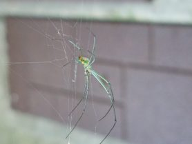 Picture of Leucauge venusta (Orchard Orb-weaver) - Lateral,Webs