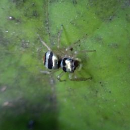 Featured spider picture of Phintella vittata (Banded Phintella)