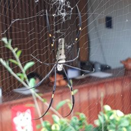 Featured spider picture of Nephila pilipes (Giant Golden Orb-weaver)