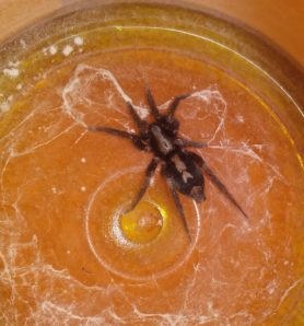 Picture of Herpyllus ecclesiasticus (Eastern Parson Spider) - Dorsal,Webs