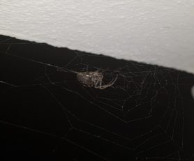 Picture of Nuctenea spp. - Ventral,Webs