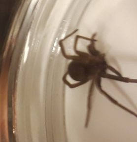 Picture of Kukulcania hibernalis (Southern House Spider)