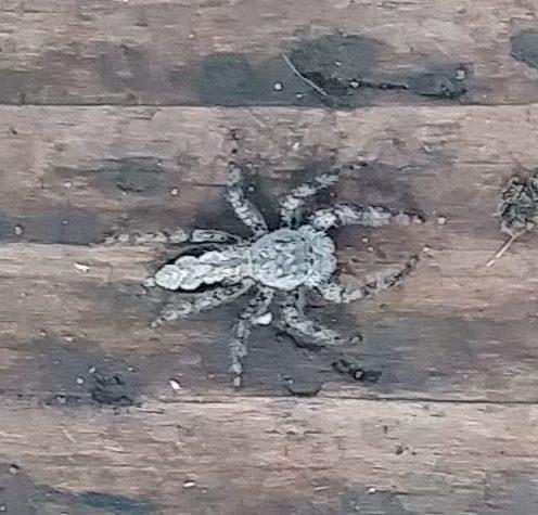 Picture of Platycryptus undatus (Tan Jumping Spider) - Dorsal