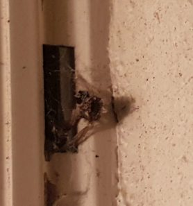 Picture of unidentified spider - Exuviae