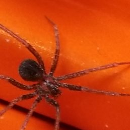 Featured spider picture of Pholcophora americana
