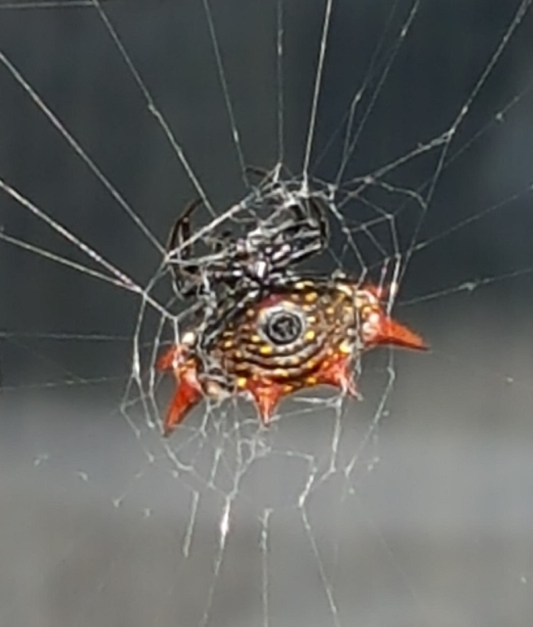 Picture of Gasteracantha cancriformis (Spiny-backed Orb-weaver) - Webs