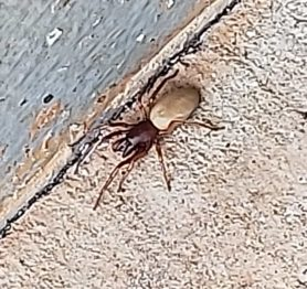 Picture of Dysdera crocata (Woodlouse Hunter) - Dorsal