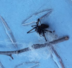 Picture of Latrodectus spp. (Widow Spiders) - Dorsal,Webs