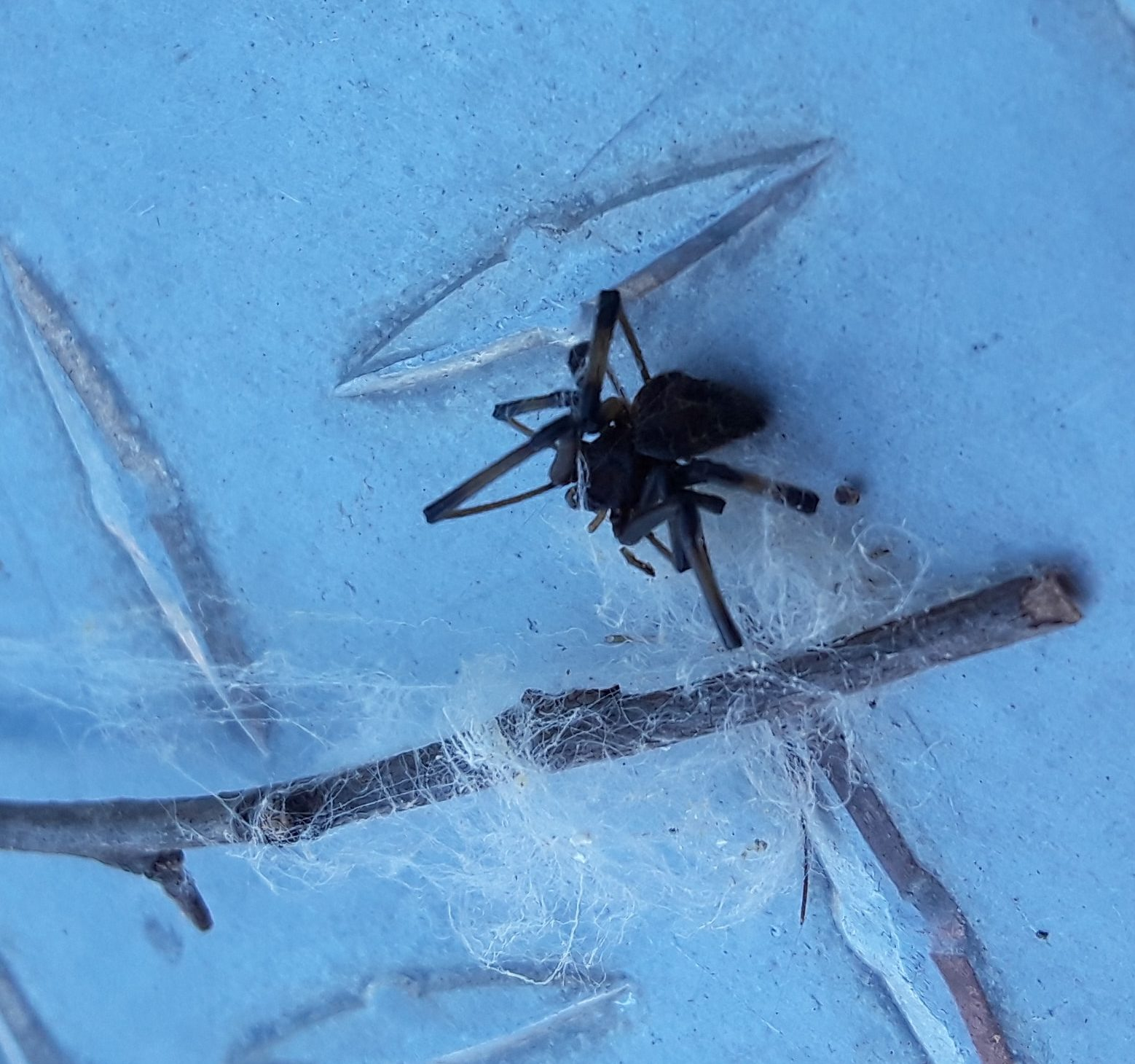 Picture of Latrodectus (Widow Spiders) - Dorsal,Webs