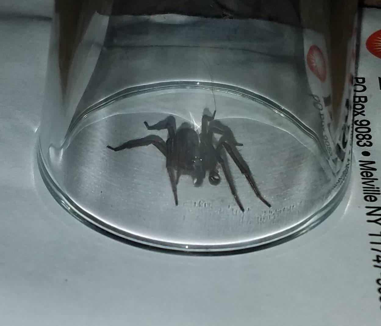 Picture of Amaurobius ferox (Black Lace-Weaver)