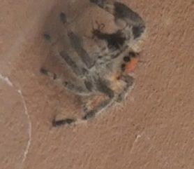 Picture of Phidippus regius (Regal Jumping Spider) - Eyes