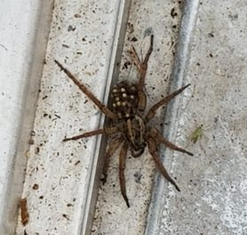 Picture of Tigrosa annexa - Female - Dorsal,Spiderlings