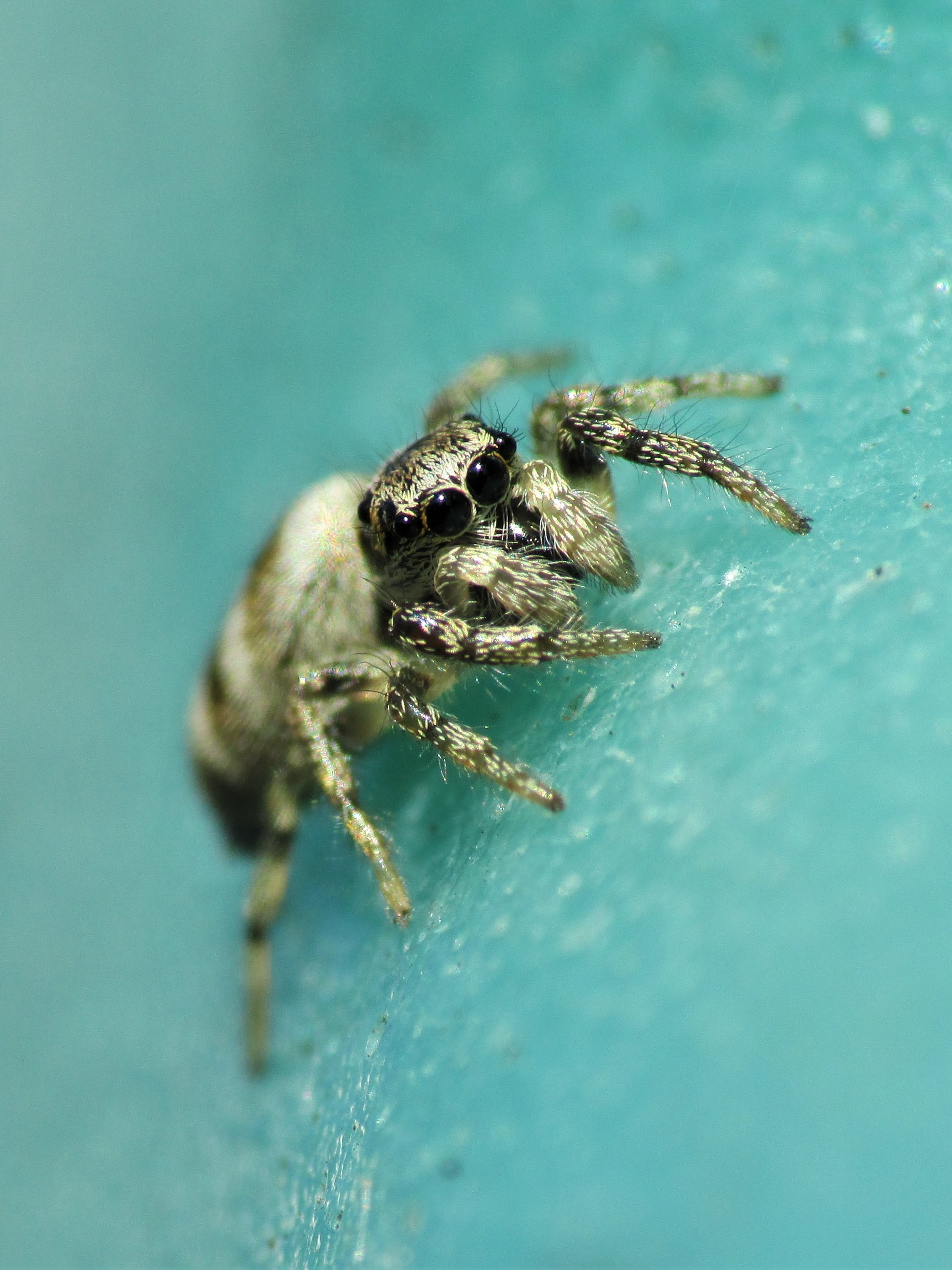 Picture of Salticus scenicus (Zebra Jumper) - Male - Eyes,Penultimate