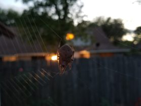 Picture of Eriophora ravilla (Tropical Orb-weaver) - Female - Dorsal,Webs