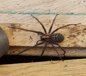 Picture of Eratigena duellica (Giant House Spider) - Female - Dorsal