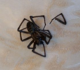 Picture of Eratigena atrica (Giant House Spider)