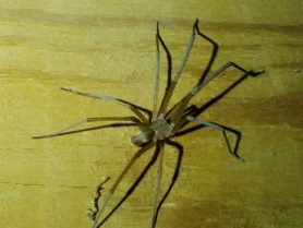 Picture of Kukulcania hibernalis (Southern House Spider) - Male - Dorsal