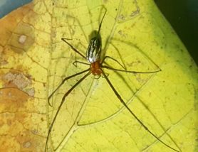 Picture of Leucauge argyra - Dorsal