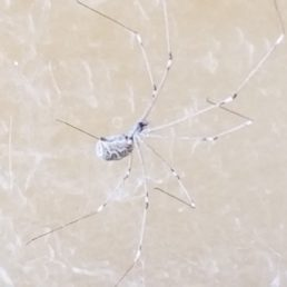 Featured spider picture of Holocnemus pluchei (Marbled Cellar Spider)