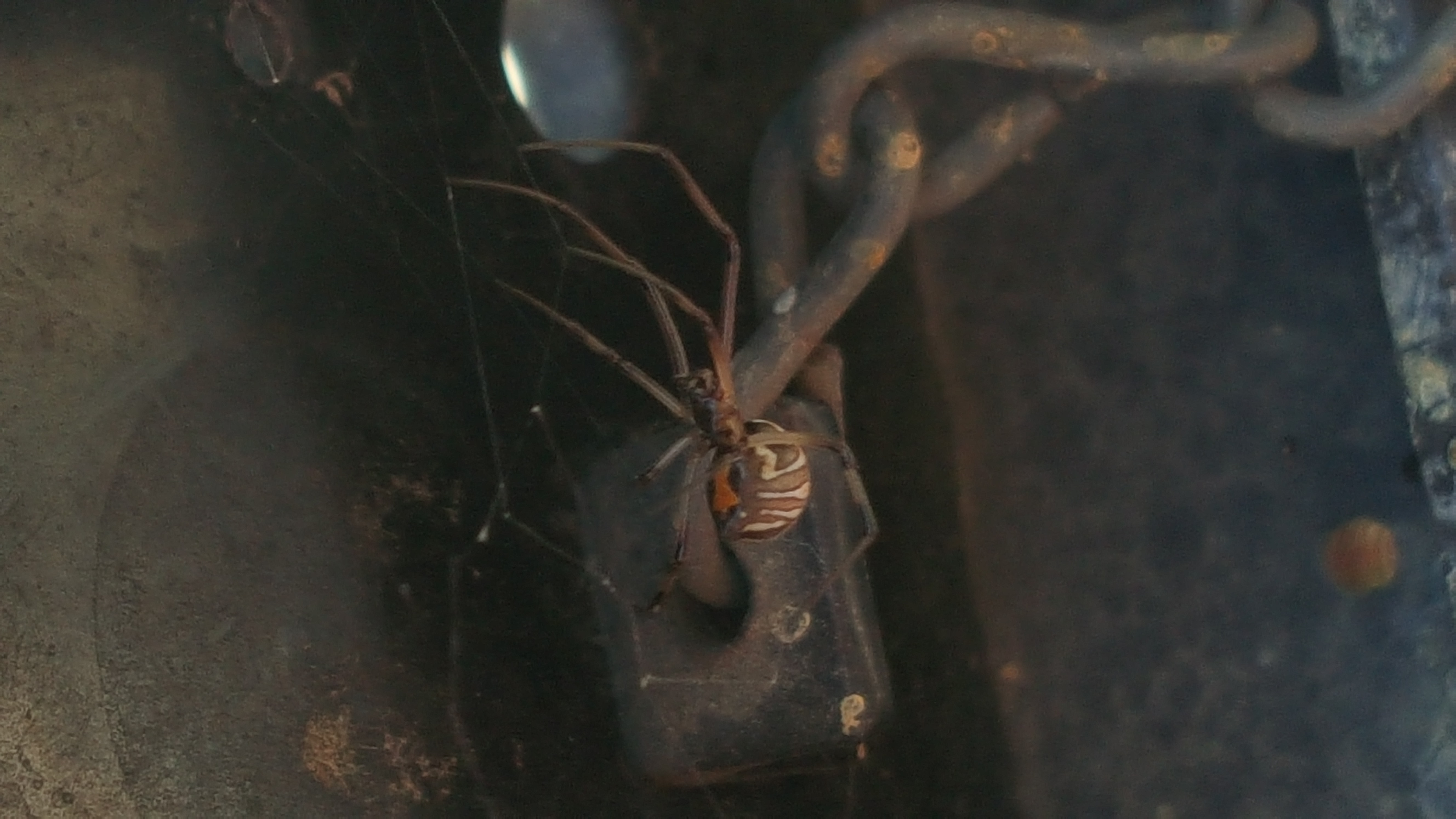 Picture of Latrodectus geometricus (Brown Widow Spider) - Female - Ventral,Webs