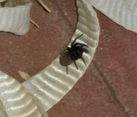 Picture of Kukulcania spp. - Dorsal