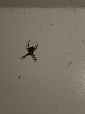 Picture of Argiope appensa (Hawaiian Garden Spider) - Ventral,Webs