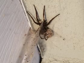 Picture of Lycosidae (Wolf Spiders) - Female - Egg sacs,Webs