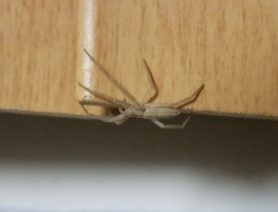 Picture of Tibellus spp. (Slender Crab Spiders) - Lateral