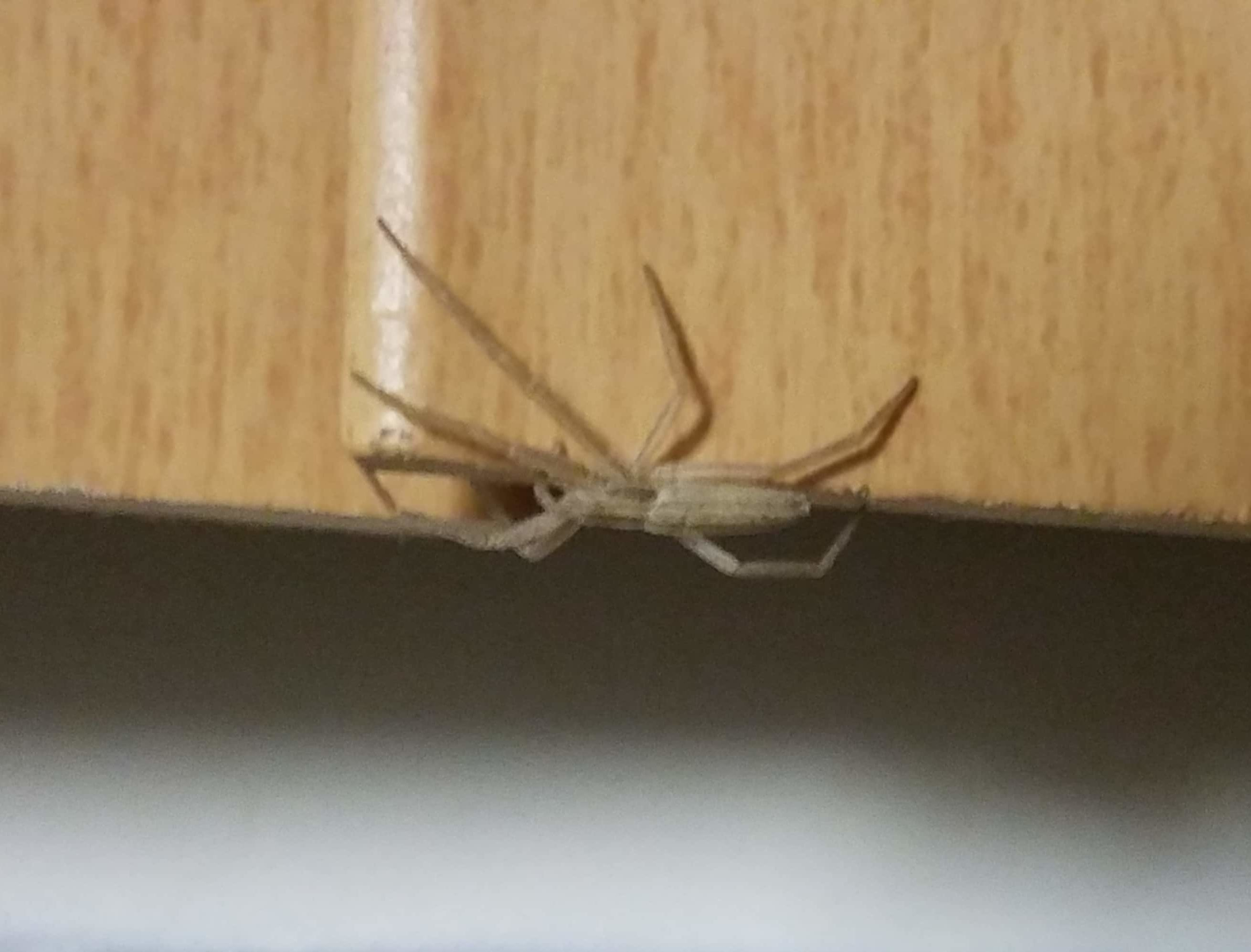 Picture of Tibellus (Slender Crab Spiders) - Lateral