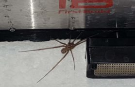 Picture of Artema atlanta (Giant Daddy-long-legs Spider) - Male - Dorsal