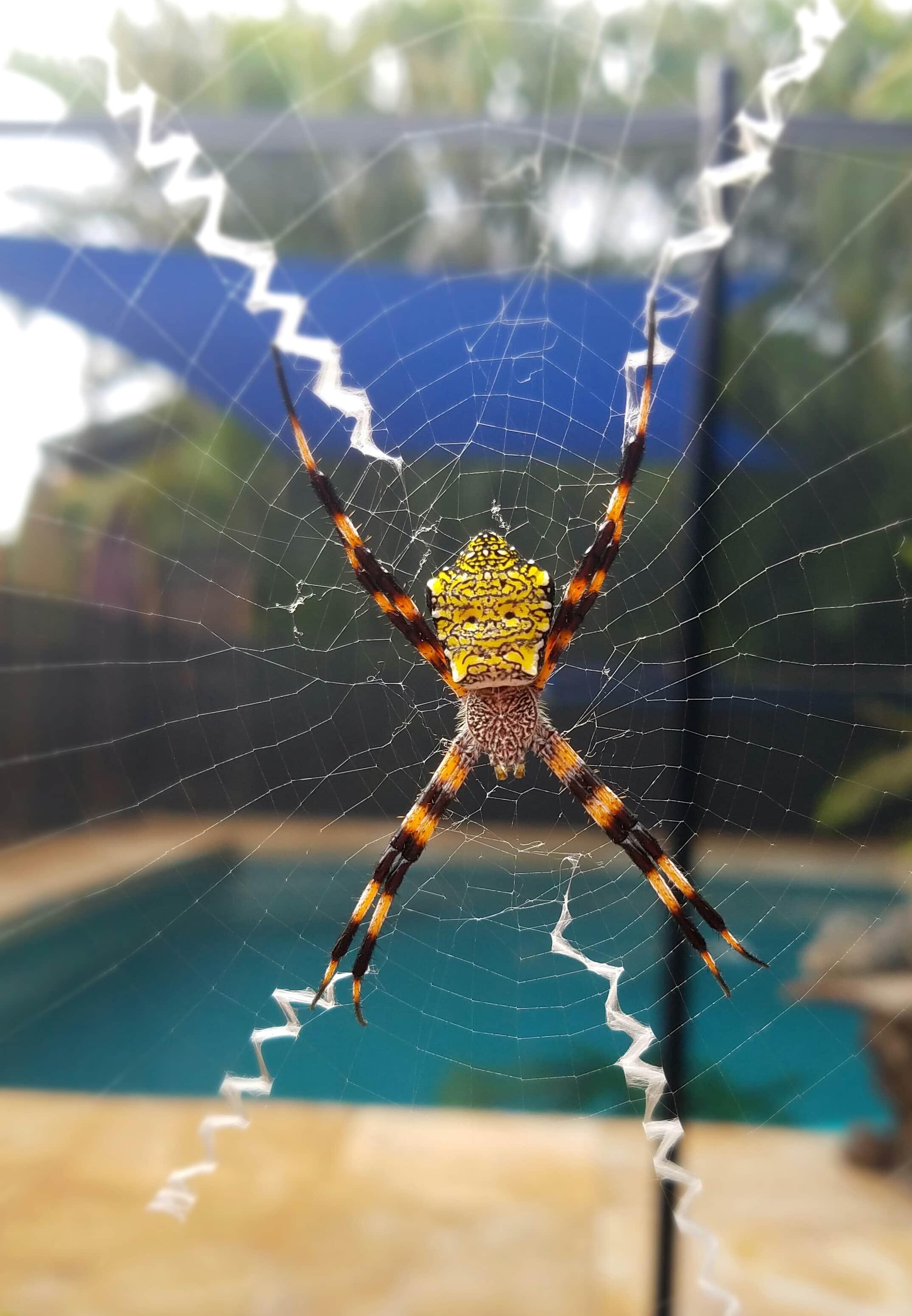 Picture of Argiope appensa (Hawaiian Garden Spider) - Female - Dorsal,Webs