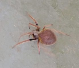 Picture of Eriophora ravilla (Tropical Orb-weaver) - Female - Dorsal