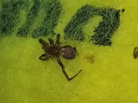 Picture of Gnaphosidae (Stealthy Ground Spiders) - Ventral