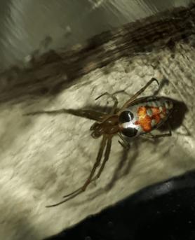 Picture of Leucauge festiva (Masked Vlei Spider) - Dorsal