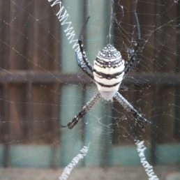 Featured spider picture of Argiope aemula (Oval St. Andrew's Cross Spider)