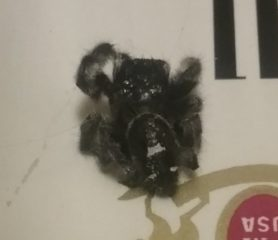 Picture of Phidippus audax (Bold Jumper) - Male - Dorsal