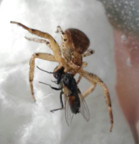 Picture of Xysticus spp. (Ground Crab Spiders) - Dorsal,Prey