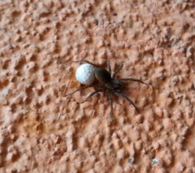 Picture of Lycosidae (Wolf Spiders) - Female - Egg sacs,Lateral