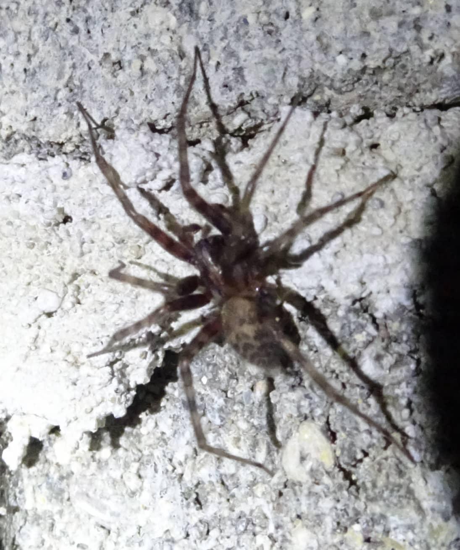 Picture of Tegenaria domestica (Barn Funnel Weaver) - Dorsal