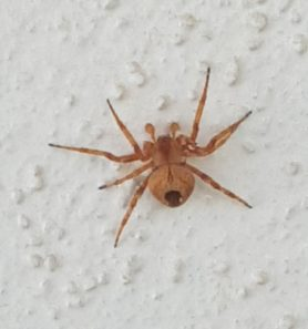 Picture of Neoscona spp. (Spotted Orb-weavers) - Male - Dorsal,Penultimate