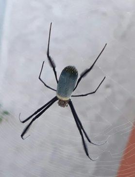 Picture of Nephila spp. (Golden Silk Orb-weavers) - Dorsal,Webs