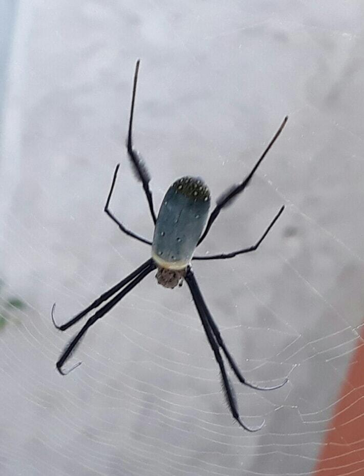 Picture of Nephila (Golden Silk Orb-weavers) - Dorsal,Webs