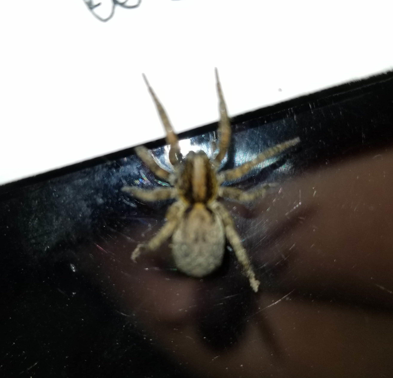 Picture of Trochosa sepulchralis - Dorsal