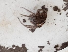 Picture of Larinioides sclopetarius (Bridge Orb-weaver) - Dorsal